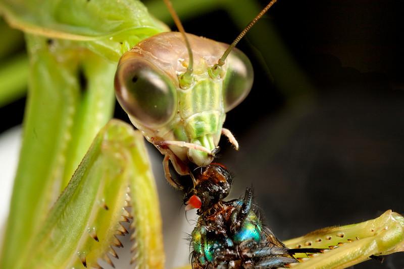 Praying Mantis eating a fly.