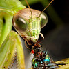 Praying Mantis eating a fly.